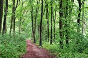 Der direkte Weg von der Villa Anna zum Strand führt durch einen alten Buchenwald